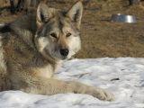 Bimba azzannata, il lupo sarà soppresso?